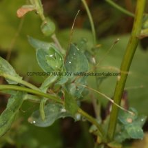 Corn Marigold (Glebionis segetum) (3)