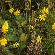 Corn Marigold (Glebionis segetum) (4)