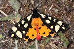 Cream-Spot Tiger (2)