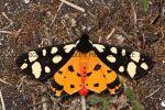 Cream-Spot Tiger (4)