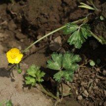 Creeping Buttercup (Ranunculus repens) (1)