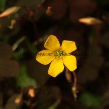 Creeping Wood-Sorrel or False Shamrock (Oxalis corniculata var purpurea) (1)
