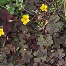 Creeping Wood-Sorrel or False Shamrock (Oxalis corniculata var purpurea) (2)