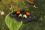Crimson patch (Chlosyne janais) (2)