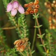Cross-leaved Heath (Erica tetralix) (1)