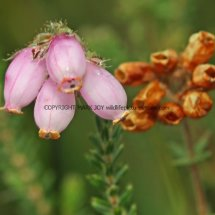 Cross-leaved Heath (Erica tetralix) (2)