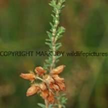 Cross-leaved Heath (Erica tetralix) (3)