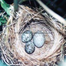 Cuckoo 15 (3)