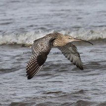 Curlew (3)
