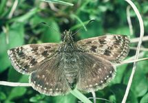 Dingy Skipper 34