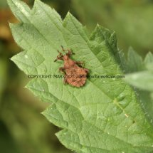 Dock Leaf Bug (Nymphs) (Coreus Marginatus)