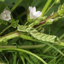 Dot Moth caterpillar on Dwarf Mallow