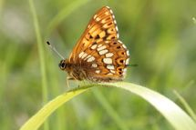 Duke Of Burgundy (3)