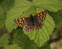 Duke Of Burgundy (4)