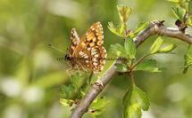 Duke Of Burgundy (7)