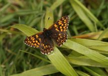 Duke Of Burgundy (1)