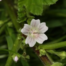Dwarf Mallow (Malva  neglecta) (1)