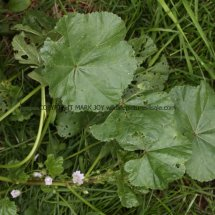 Dwarf Mallow (Malva  neglecta) (2)