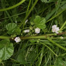 Dwarf Mallow (Malva  neglecta) (3)