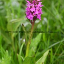 Early Marsh orchid Dactylorhiza incarnata 16.5.2017 (3)