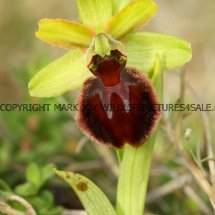 Early Spider Orchid (Ophrys sphegodes) 30.4.2017 (1)