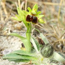 Early Spider Orchid (Ophrys sphegodes) 30.4.2017 (3)