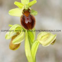Early Spider Orchid (Ophrys sphegodes) 30.4.2017 (4)