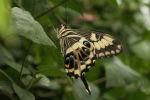 Emperor Swallowtail (Papilio ophidicephalus) (1)