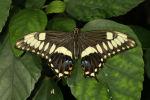Emperor Swallowtail (Papilio ophidicephalus) (2)