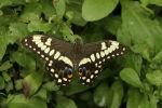 Emperor Swallowtail (Papilio ophidicephalus) (4)