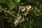 Emperor Swallowtail (Papilio ophidicephalus) (6)