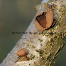 Encoelia furfuracea Spring Hazel cup (1)