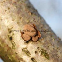 Encoelia furfuracea Spring Hazel cup (5)