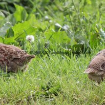 English Partridge (10)
