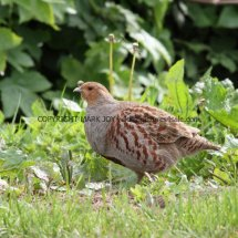 English Partridge (14)