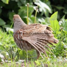 English Partridge (16)
