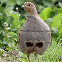 English Partridge (17)