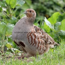 English Partridge (18)