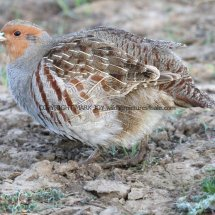 English Partridge (1)