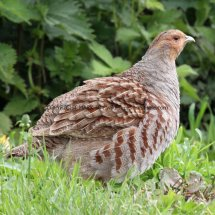 English Partridge (20)