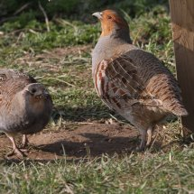 English Partridge (23)