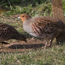 English Partridge (24)
