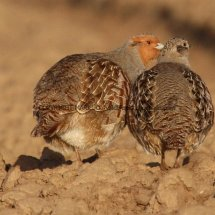 English Partridge (4)