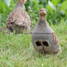 English Partridge (5)
