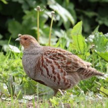 English Partridge (6)