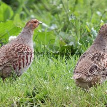 English Partridge (9)