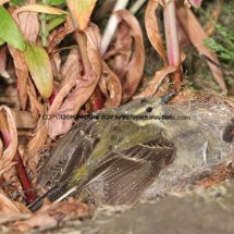 Female Yellow Wagtail at nest in rain storm
