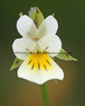 Gallery 7d Wild Flowers - White