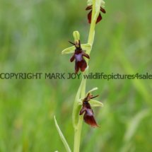 Fly Orchid 18.5.2017 (1)