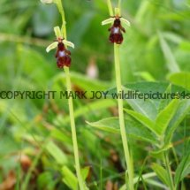 Fly Orchid 18.5.2017 (4)